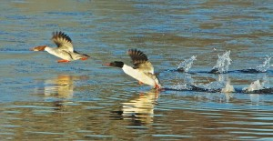 Goosander by Tony Lyman