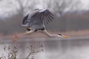 Grey Heron by Tony Lyman