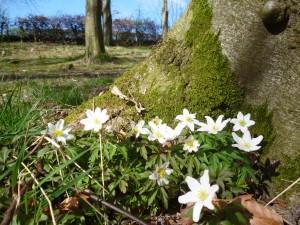 Spring flowering wood anemone
