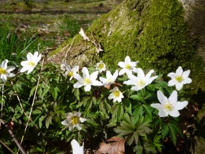 wood anenome - Castle Loch, Lochmaben 1